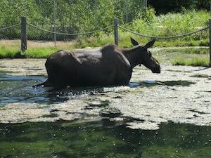 デナリのシンボル『ムース』