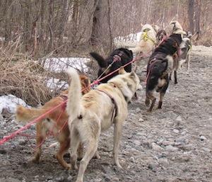 トレーニングランで引く犬達