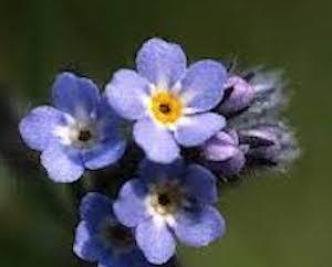 アラスカの州花 わすれな草