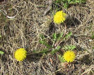 最初に見つけた花はタンポポでした。