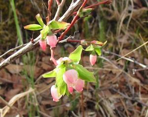 トレイルに咲いていた『かんざし』のような小さなピンクの花