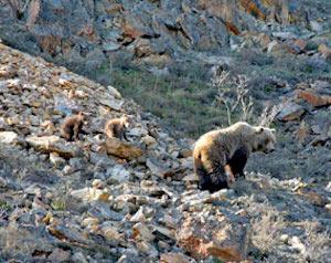 デナリ国立公園の野生動物