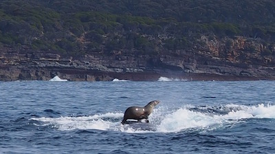 This seal hitched a ride on the back of a humpback whale. Photo: Robyn Malcolm/Diimex.com