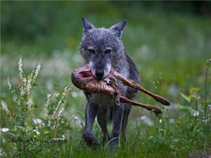 シカを襲ったオオカミ@バンフ