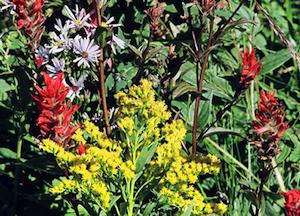 ロッキー山脈の高山植物