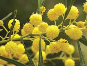 Acacia-saligna-flower